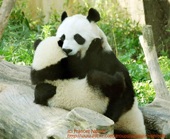 My widdle baby (somesai) Tags: animal animals smithsonian hug panda tai nationalzoo endangered mx ts pandas meixiang taishan dczoo butterstick