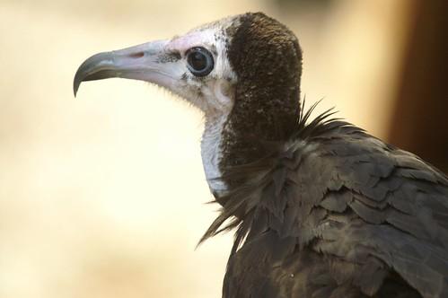Necrosyrtes monachus- Alimoche Sombrío - Hooded Vulture
