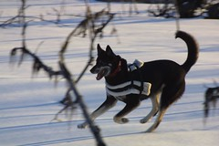 Go Go Gadget! (Sionth) Tags: winter dog skiing sled isis tianna skijoring sionth skijorning flickrchallengegroup