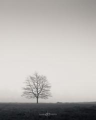 Isolate (Dan Portch) Tags: mist fog tree minimal fine art knole knolepark kent sevenoaks sevenoaksknolepark winter misty