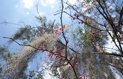 Spring flowers 044 (2) (Tangled Bank) Tags: wild nature natural alachua county florida tree spanish moss flower bird