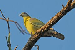 Yellow-footed Green-pigeon - Treron phoenicoptera (Roger Wasley) Tags: yellow footed green pigeon treron phoenicoptera gir national park gujarat india bird indian asia wild