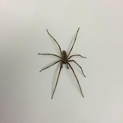 (hannemiriam) Tags: insect spider insekt iphone housespider blackonwhite 8legs tegenariagigantea edderkop iphone6 iphonetoday husedderkop meetthespider 5centimeterspider