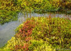 Bog Vegetation (Roger B.) Tags: moss unitedkingdom sheffield bog sundew southyorkshire drosera gbr droserarotundifolia roundleavedsundew sphagnum polytrichumcommune rocherbog
