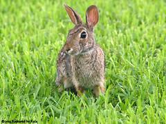 Startled (Kaptured by Kala) Tags: rabbit bunny nature startled cottontail easterncottontail cottontailrabbit garlandtexas easterncottontailrabbit