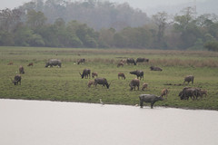 Wild Asian Water Buffalo (jengel5230) Tags: india mammal bovidae herd endangeredspecies hogdeer artiodactyla indianrhino kaziranganationalpark bubalusbubalis mixedgroup kazirangascene
