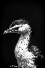 Little pied cormorant (Phalacrocorax melanoleucos)
