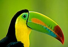 Costa Rica - Toucan