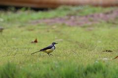 Motacilla flaviventris (dhobern) Tags: october aves madagascar andasibe 2015 passeriformes motacilla flaviventris motacillidae