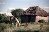 29-438 (ndpa / s. lundeen, archivist) Tags: sky horse dog house color building film animal animals fiji clouds rural 35mm farm interior nick southpacific 29 thatchedroof 1970s 1972 grazing dewolf oceania fijian pacificislands rurallife thatchroof southpacificislands nickdewolf photographbynickdewolf reel29 northfiji