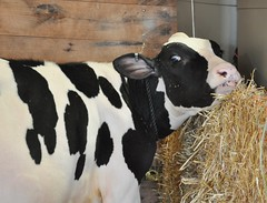 Goshen Fair 2015 (caboose_rodeo) Tags: 696 dairycattle ctagfairs