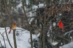 Personal Space (GEM Studios) Tags: winter snow bird nature cardinal rt