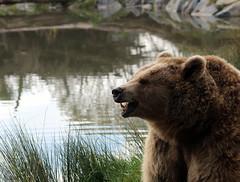 Ours (Carahiah) Tags: nature lac reflet croc animaux rhodes parc brun ours gueule saintecroix museau parcanimalier parcanimalierdesaintecroix