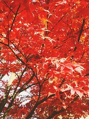This Tree is on Fire (christiane.grosskopf) Tags: autumn red tree rot leaves germany deutschland herbst mapletree blätter baum redleaves treeonfire ahorn roteslaub samsunggalaxys4 samsungs4
