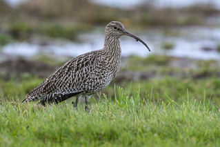 Curlew ( Eurasion)