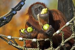 Orang-Utan (Michael Döring) Tags: gelsenkirchen bismarck zoomerlebniswelt zoo orangutan sp150600 d7200 michaeldöring inexplore