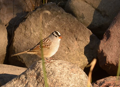 White Crowned Sparrow (jdcalvin096) Tags: nature minnesota feathers crowned egglaying naturescreations