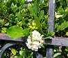 Murraya-paniculata_WashingtonPlace-320SBeretania-Honolulu_Cutler_20151202_140623 (wlcutler) Tags: hawaii honolulu murraya murrayapaniculata