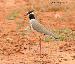 JHG_5388-b Black-headed Plover, Tsavo West, Kenya. (GavinKenya) Tags: africa wild nature animal june john mammal photography gavin photographer kenya african wildlife july grand safari dk naturephotography kenyasafari africansafari 2015 safaris africanwildlife africasafari johngavin wildlifephotography kenyaafrica kenyawildlife dkgrandsafaris africa2015 safari2015 johnhgavin