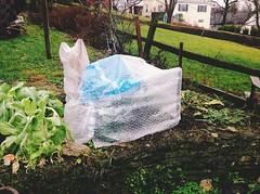 Mini Greenhouse (lady-ursula) Tags: garden brassicas hoophouse minigreenhouse extendingtheseason
