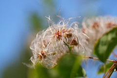 Plumeaux n2 (romain_castellani) Tags: nature plante panasonic c1 gf7 lumixg425mmf17