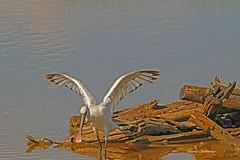 Echasse . ( 2 ) (PACHA23) Tags: fauna wildlife faune bassindarcachon zancuda wadingbird chasse chassier oiseauaquatique stelzvogel