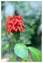 Bursts of color (Abraham Jacob N) Tags: flower beautifulflower redflower nature kottayam kerala india canon700d