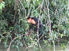 IMG_9008 (dstylebda) Tags: colonpanama gatunlake tamarins howlermonkeys sloth