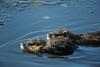 Baignade (Samuel Raison) Tags: ragondin animal nature etang nikon
