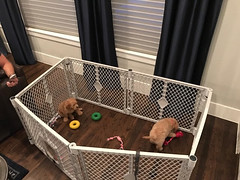 Kizzie & Chewy's Finn and Dub playing in their new home!