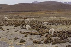 Wikunie andyjskie | Vicuñas