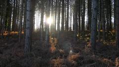New Forest NP, Hampshire, England (east med wanderer) Tags: england hampshire uk newforestnationalpark trees pines forest woodland worldtrekker