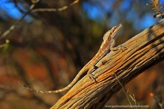 dragon of the mulga..