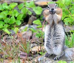 DSC_0674 (rachidH) Tags: squirrel écureuil rodents goldenmantledgroundsquirrel spermophiluslateralis callospermophiluslateralis spermophileàmanteaudoré écureuilterrestreàmanteaudoré spermophileàmanterayée logan pass loganpass westglaciernationalpark montana rockymountains mt rachidh nature