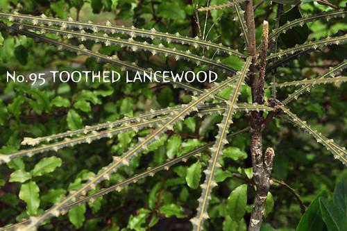 no.95toothedlancewood