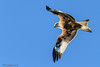 Red kite at Harewood-1 (mido2k2) Tags: mido2k2 fantastic villager explore flickr redkite red kite flight bird avian feathered raptor prey hawk falcon hunter carrion soar awesome stunning nikon d5300 sigma 150500mm west yorkshire muddy boots harewood photography nature natural wild wildlife ornithology animal outdoor eagle