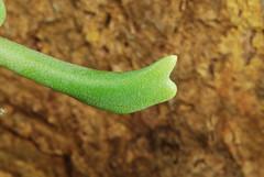 27 décembre 2016 - Rhombophyllum dolabriforme ?