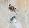 AMERICAN TREE SPARROW (wilsonaxpe) Tags: americantreesparrow denver colorado wildlife birds birdphotography