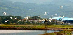 Terbang lah (Bagus Dewantoro) Tags: fly bird sawah cicalengka photography nikon nature