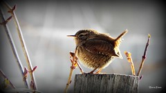 Carić (UK: Wren, Lat: Troglodytes troglodytes) (Tihomir Pavlović) Tags: nature bird animal close zaunkönig wren wildlife winter light extraordinarilyimpressive fauna 100commentgroup depthoffield countryside saariysqualitypictures