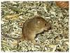 Souris des moissons (Micromys minutus) (v8dub) Tags: souris des moissons micromys minutus rat naine rongeur mammifère maus mouse schweiz suisse switzerland fribourg freiburg museum musée d histoire naturelle mhn tier animal natur nature bio biodiversité