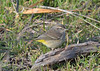 Palm Warbler1 1-2-17 (Carol Riddell) Tags: bird passerine warbler palmwarbler setophagapalmarum birdsofedmonds snohomishcountybirds washingtonbirds marinabeach