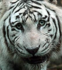 White Bengal tiger Amersfoort JN6A0762 (j.a.kok) Tags: tijger tiger bengaaksetijger bengaltiger wittetijger whitetiger amersfoort predator mammal cat kat asia azie