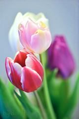 binnen-lente (Don Pedro de Carrion de los Condes !) Tags: donpedro d700 dutch hollands tulp tulpen lente voorjaar detail bosje bolgewas bewerking mood