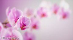 orchid colony (frederic.gombert) Tags: pink light sun sunlight color colors macro nikon d810 flower flowers bunch bloom red