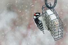 Male Downy Woodpecker on suet feeder (hickamorehackamore) Tags: ct connecticut downywoodpecker haddam nwf picoidespubescens backyard certified feeder habitat male snow snowing snowstorm suet suetfeeder wildlife woodpecker