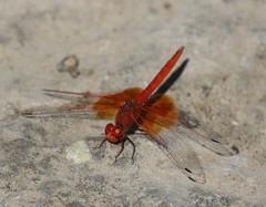 Orange-winged Dropwing (Trithemis kirbyi) Male (Rezamink) Tags: trithemiskirbyi orangewingeddropwing dragonflies odonata uae
