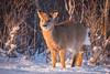 Fluffy Deer (djrocks66) Tags: nature outdoors winter cold snow sunset sunrise animals wildlife deer run beach ocean dunes water shore rocks birds bif long island ny fuji fujifilm xt2 landscapes waterscapes oceanscapes hiking