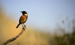 ... Caramel ... (Device66.) Tags: tarabilla birdwatching loveit nature wild stonechat