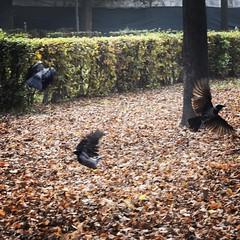 Spaventate #cornacchieinvolo#volare@#volar#fly#cornacchia#crow#cuervo#autunno#autumn#otono#cavallerizza#torino#turin#ali#aperturadiali#wings#alas#wingopening@#aberturasalas